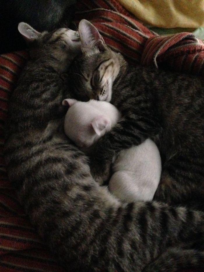perro-nicolas-3-patas-adoptado-gatos (5)