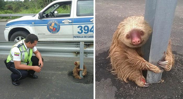 La policía salva a un pequeño perezoso aterrado atascado en la carretera