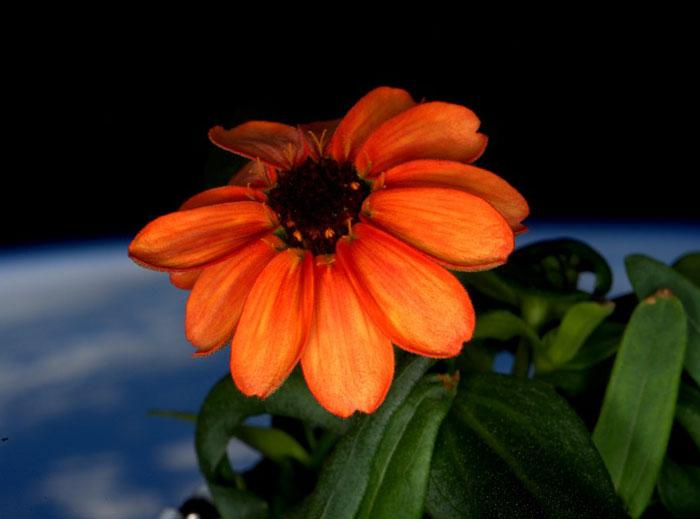 Un astronauta de la NASA consigue cultivar por 1ª vez una flor en el espacio