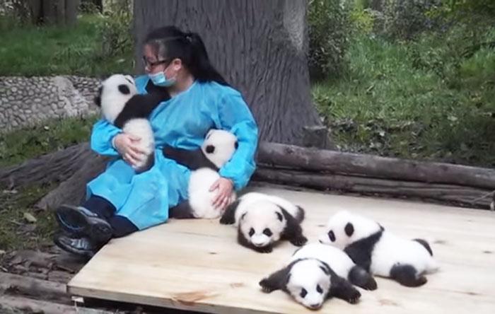 El mejor trabajo del mundo: esta mujer abraza pandas y recibe 32.000$