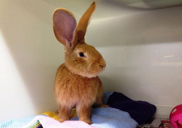 adopcion-conejo-gigante-continental-atlas-spca (2)