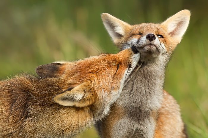 Esta fotógrafa demuestra que los zorros son criaturas extremadamente amorosas