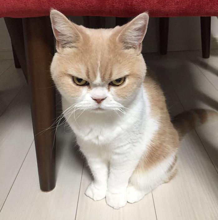 Este es el Grumpy Cat japonés y tiene aún más cara de enfado que el original