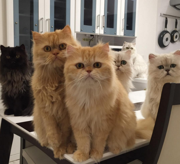 mujer-tiene-12-gatos-persa-chinchilla10