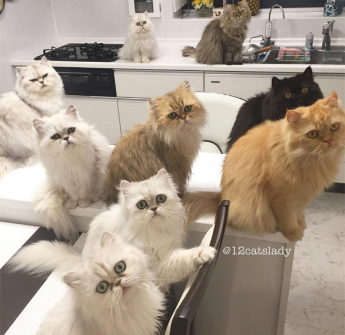 mujer-tiene-12-gatos-persa-chinchilla16