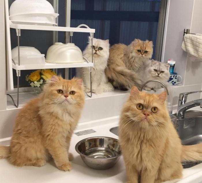 mujer-tiene-12-gatos-persa-chinchilla5