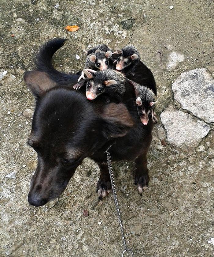 Este perro adopta a unas zarigüeyas huérfanas y les da paseos sobre su lomo