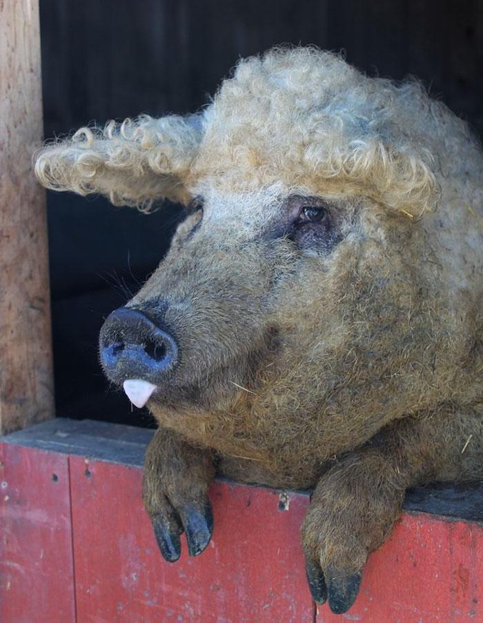 Estos cerdos lanudos parecen ovejas y se comportan como perros ... bc1b03127a1e
