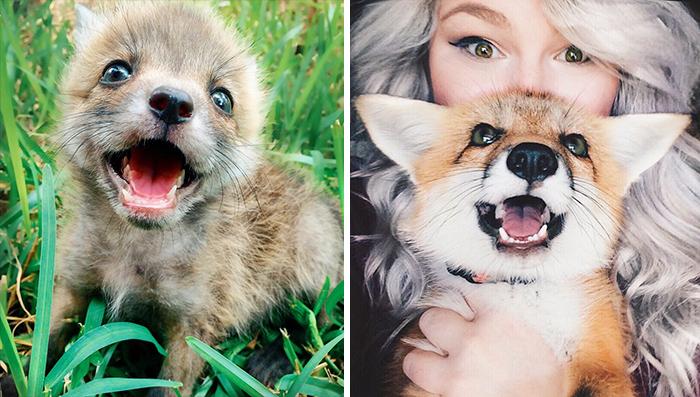 Esta es Juniper, un zorro mascota que es como un perro naranja