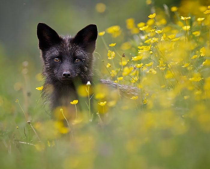 La rara belleza de los zorros negros