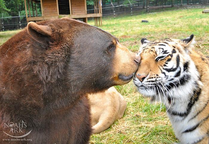 amistad-animal-inusual-oso-leon-tigre-santuario-georgia (1)