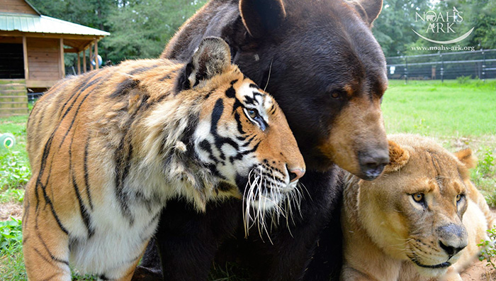 amistad-animal-inusual-oso-leon-tigre-santuario-georgia (2)