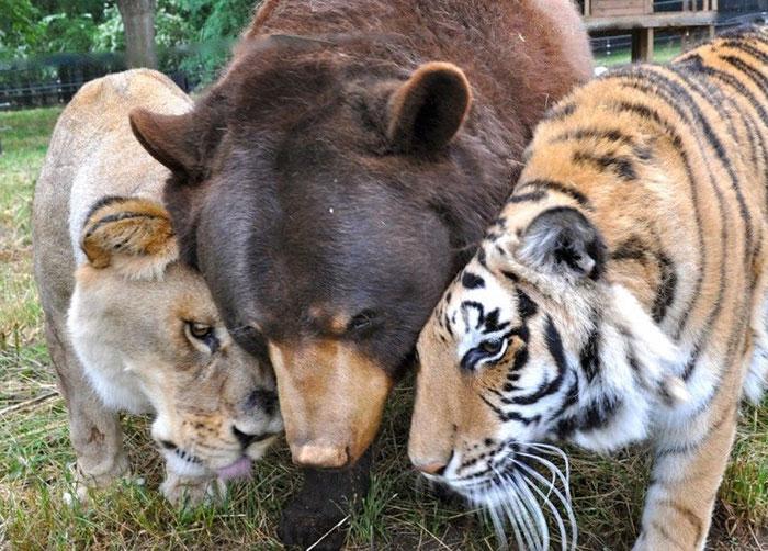 Estos hermanos oso, león y tigre llevan juntos 15 años