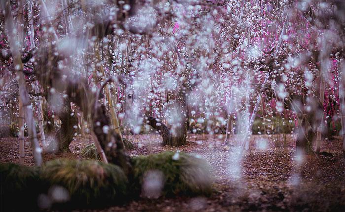 Fotografío la primavera en Japón
