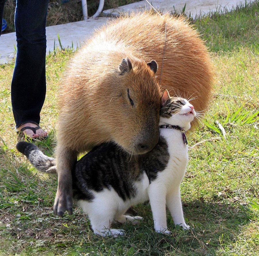 amistad-animal-capibaras (1)