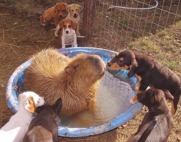 amistad-animal-capibaras (2)