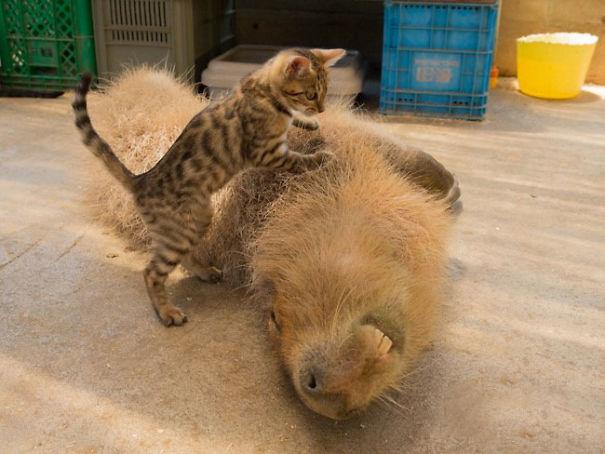 amistad-animal-capibaras (6)