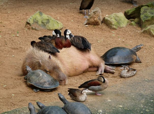 amistad-animal-capibaras (9)