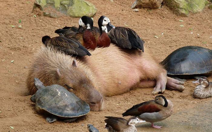¿Por qué las capibaras caen tan bien a los demás animales?