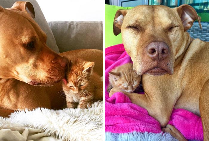 A este pitbull rescatado le regalaron una gatita y la trata como si fuera su hija