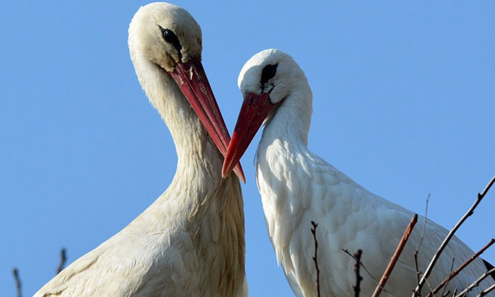 ciguena-vuela-miles-de-kilometros-por-amor-klepetan-malena-croacia (7)