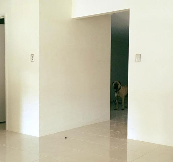 cyrus-perro-inquietante-bullmastiff-lauren-birney (5)