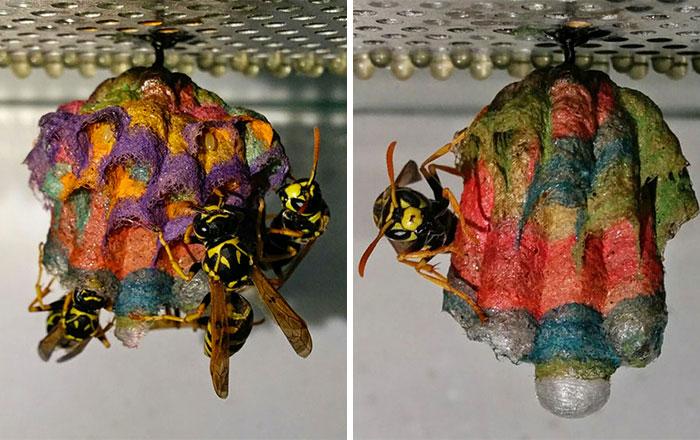Si les das papel de colores a las avispas, construyen un nido arco iris