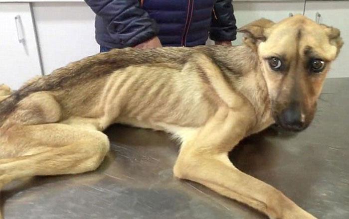 Este perro famélico que no podía ni sostenerse se transformó de forma increíble
