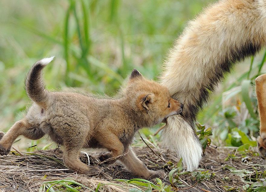 crias-zorro-adorables (10)