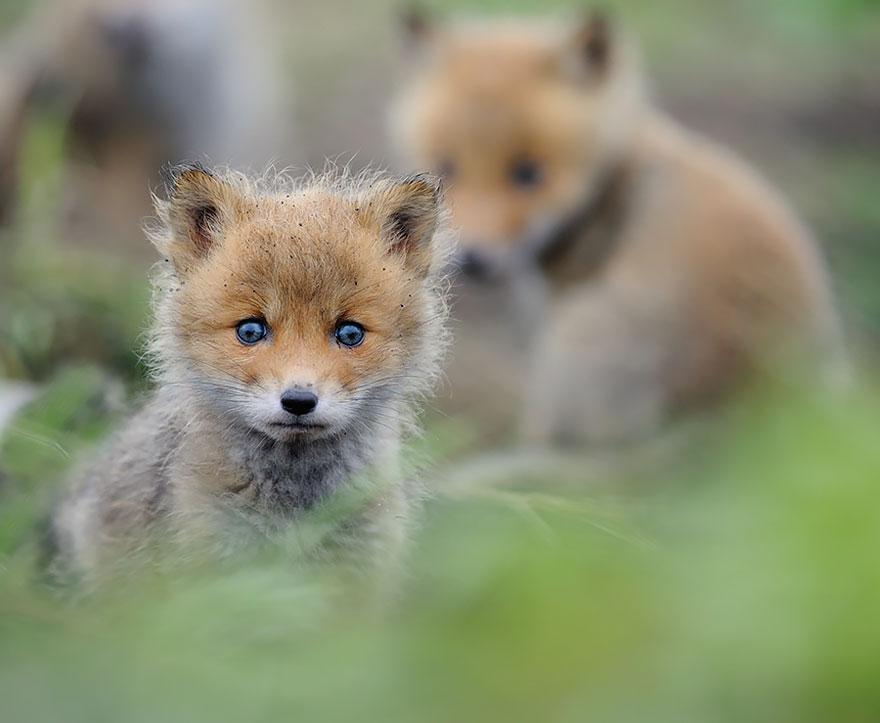 crias-zorro-adorables (2)