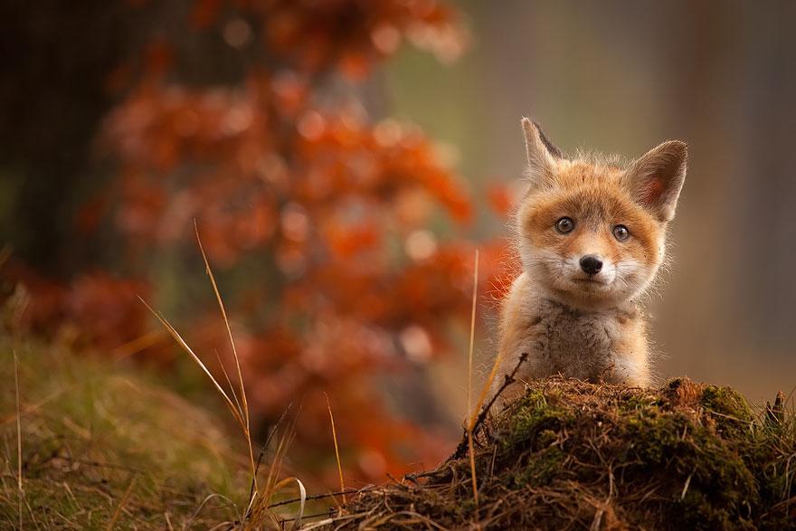 crias-zorro-adorables (4)