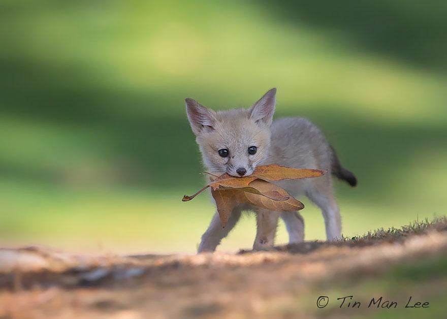 crias-zorro-adorables (5)