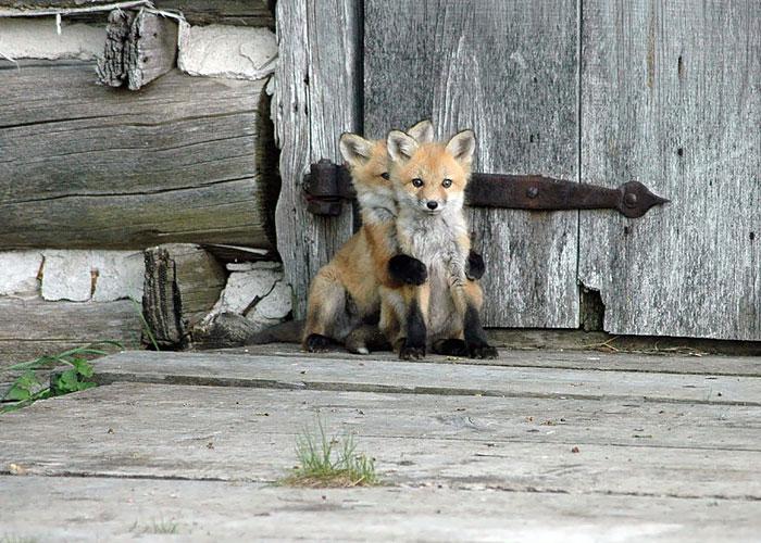 12 Crías de zorro demasiado adorables para ser reales