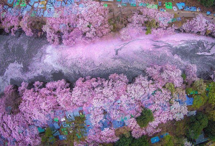 Las flores de cerezo pintan de rosa un lago, haciendo que Tokyo parezca de cuento de hadas