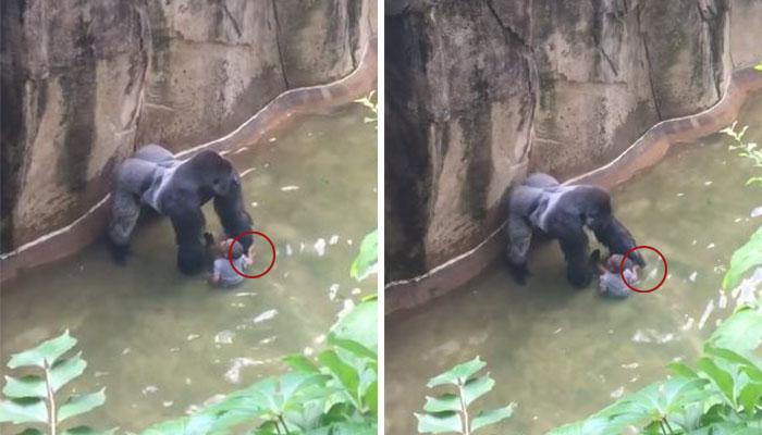 Un nuevo vídeo muestra que el gorila estaba dándole la mano al niño antes de ser disparado