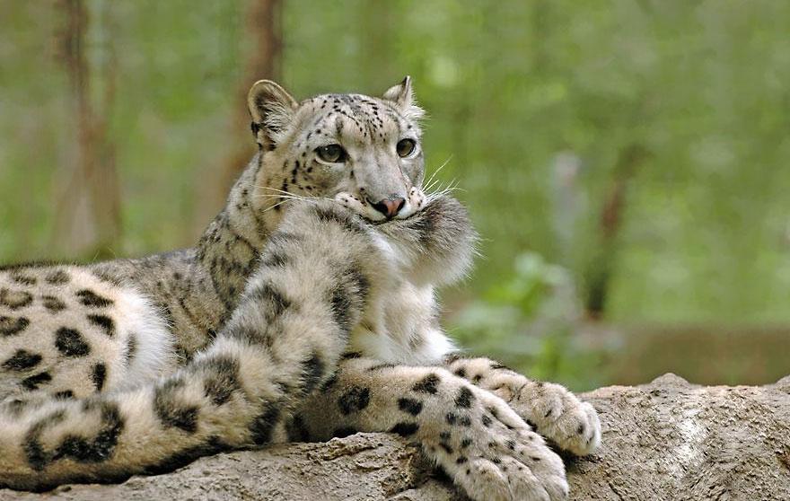 leopardos-nieves-mordiendose-cola (1)