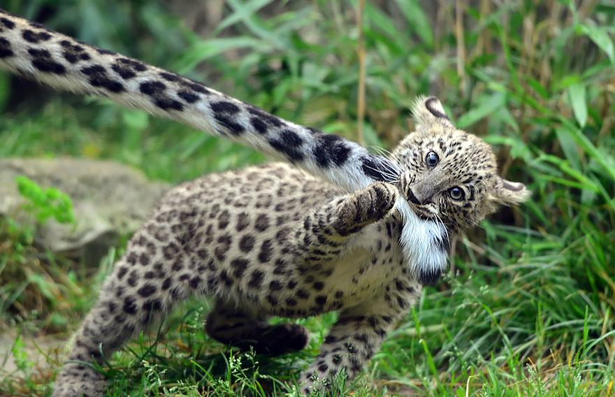 leopardos-nieves-mordiendose-cola (10)