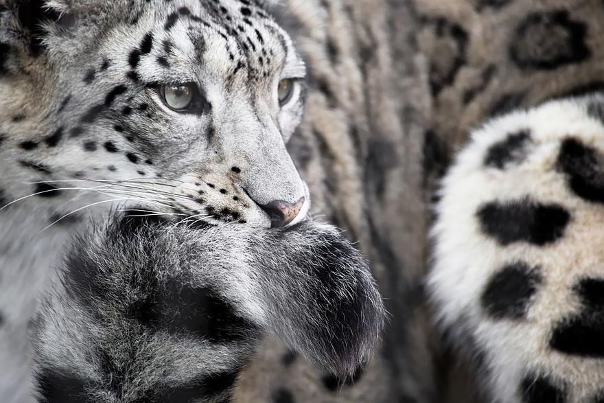 leopardos-nieves-mordiendose-cola (9)