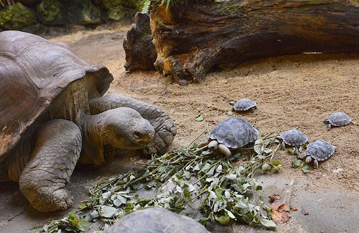 Esta tortuga de 80 años perteneciente a una especie amenazada se convierte en madre de 9 tortuguitas