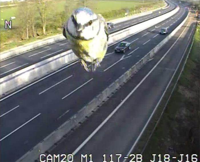 Una cámara de tráfico capta a un herrerillo a toda velocidad por una carretera de Reino Unido