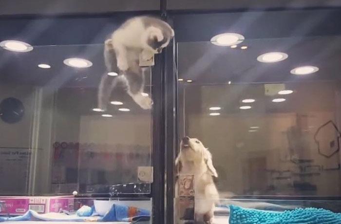 Este gatito escapa del escaparate de una tienda de mascotas para reunirse con su amigo perro