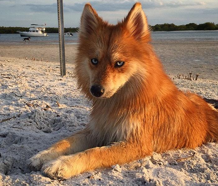 Este perro parece un zorro, pero es un cruce de pomeranio con husky y está conquistando internet