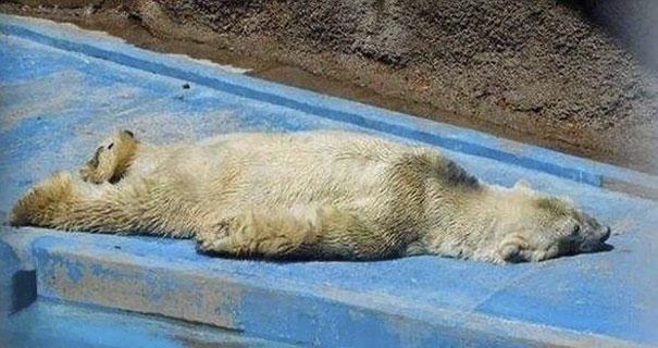 fallece-arturo-oso-polar-zoo-mendoza-argentina (4)