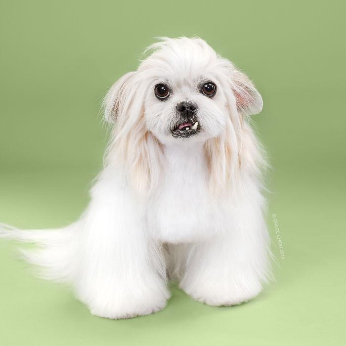 fotos-perros-antes-despues-corte-pelo-grace-chon (1)