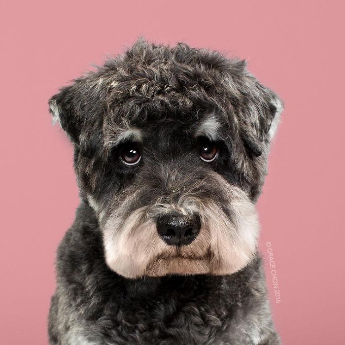 fotos-perros-antes-despues-corte-pelo-grace-chon (10)