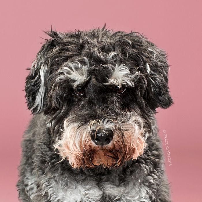 fotos-perros-antes-despues-corte-pelo-grace-chon (11)