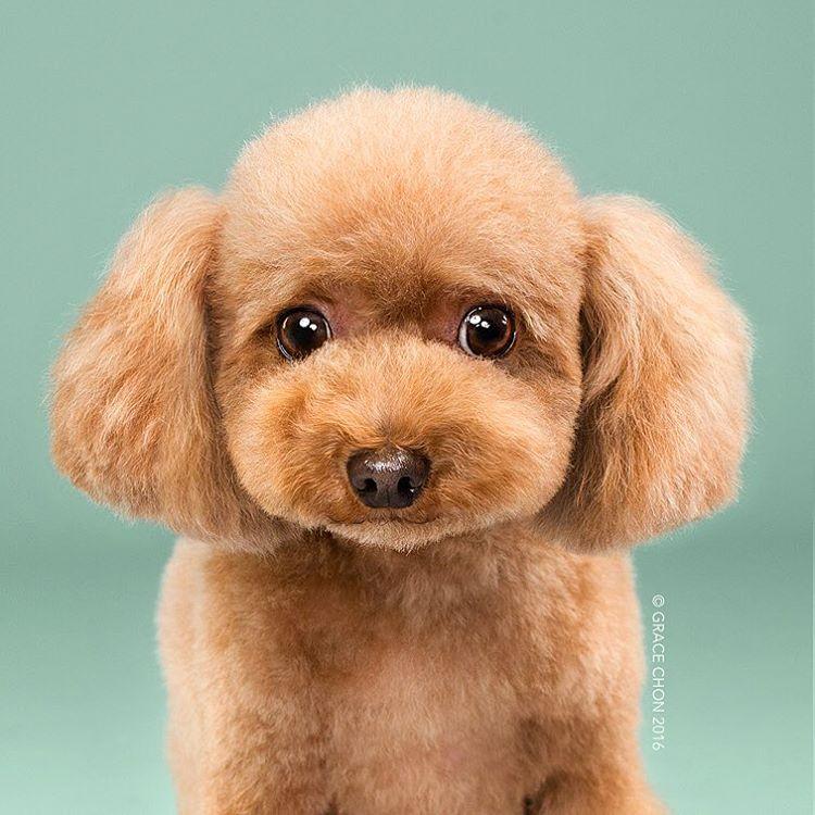 fotos-perros-antes-despues-corte-pelo-grace-chon (12)