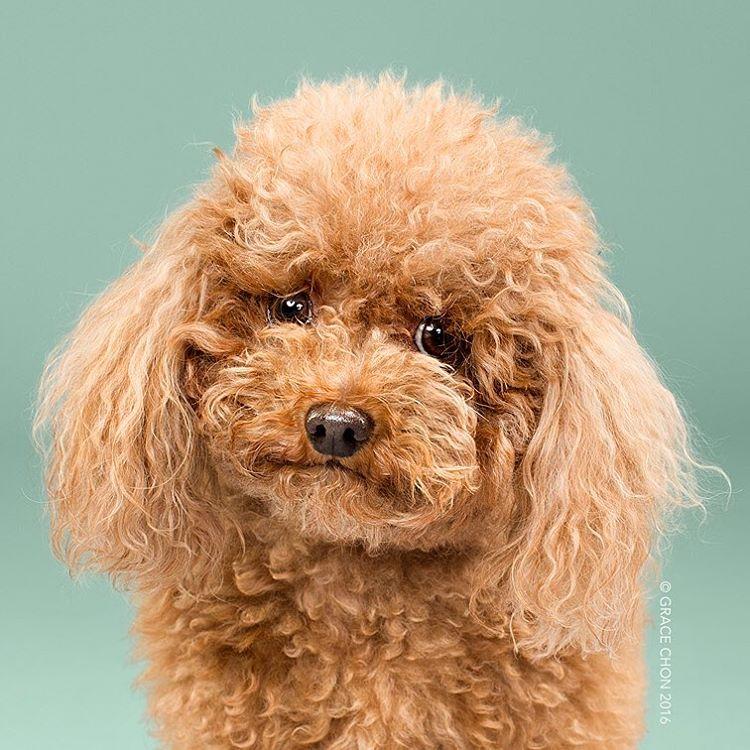 fotos-perros-antes-despues-corte-pelo-grace-chon (13)