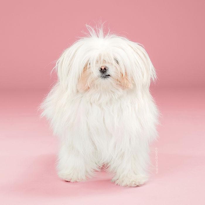fotos-perros-antes-despues-corte-pelo-grace-chon (3)