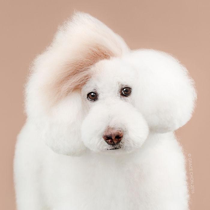 fotos-perros-antes-despues-corte-pelo-grace-chon (4)